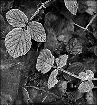 """Frozen Leaves, Hermitage of Braid"""